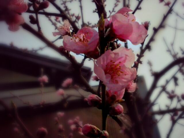 photography japan spring flower nature peach blossom